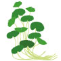 Centella Asiatica for Skin